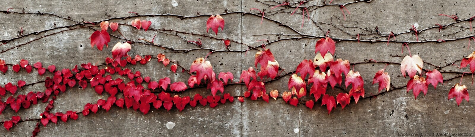 Autumn red vines on a cement wall